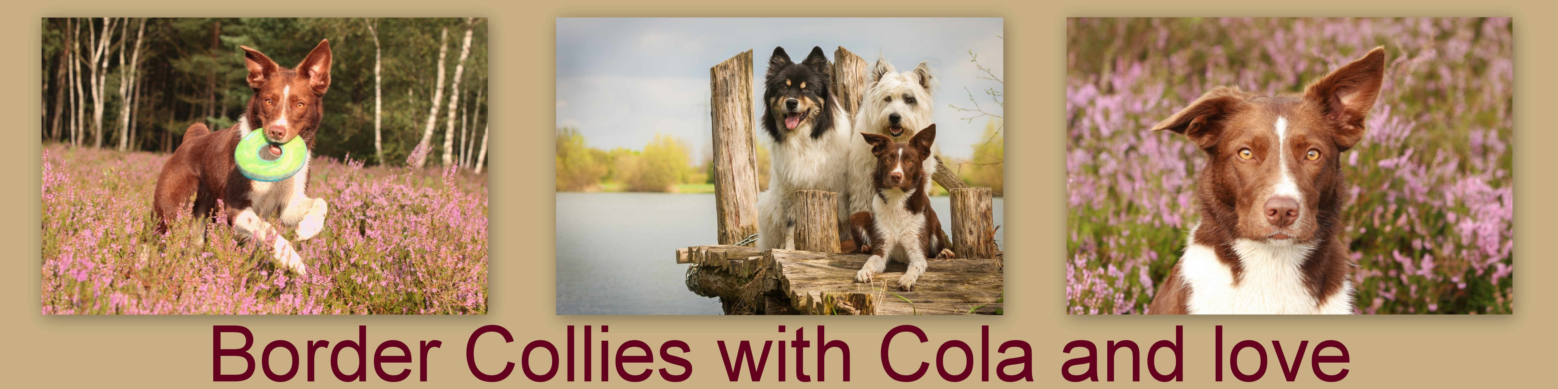 Banner Border Collies with Cola and love