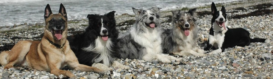 Banner Simply Amazing Border Collies